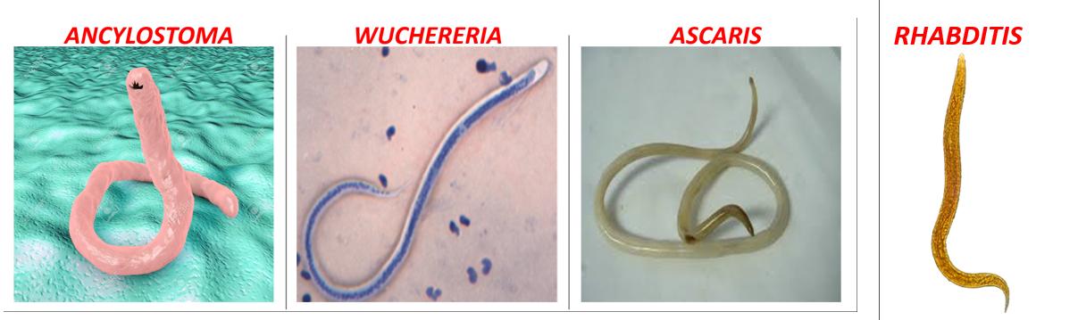 a platyhelminths turbellaria példája