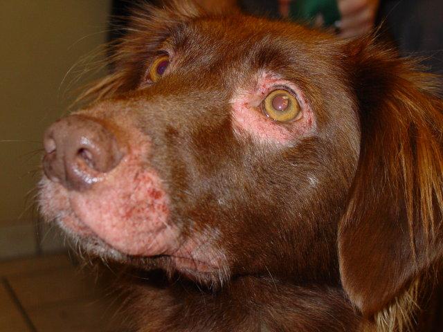 Kutya allergia