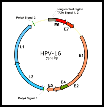 hpv vírus genom