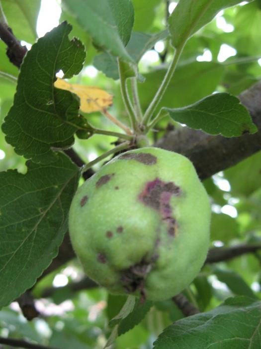 bakteriális rák az almában rektális rák története