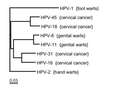 humán papillomavírus inkubáció