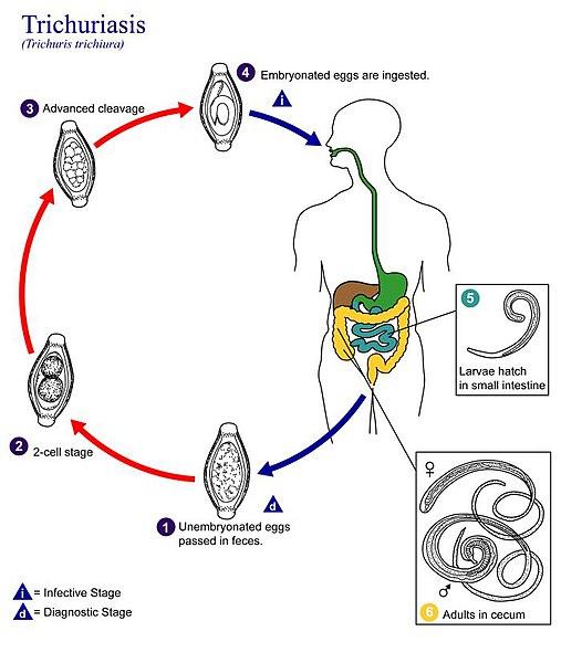 a trichocephalia fejlődési ciklusa