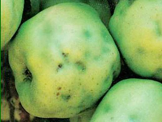 bakteriális rák az almában fenyőférgek táplálkoznak
