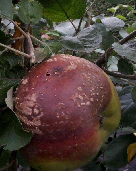 bakteriális rák az almában milyen gyógyszerrel lehet megszüntetni a férgeket