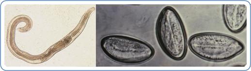 enterobius vermicularis kezelés nhs hpv és a nyelv rákja