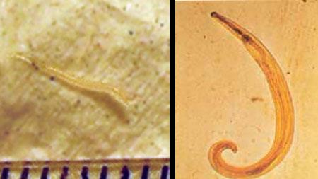 Pinworms - fehér színű körbimbók, milyen típusúak? - Férgek - , Kerekférgek enterobiosis