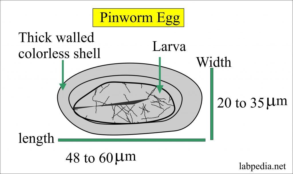 enterobius vermicularis szaporodás