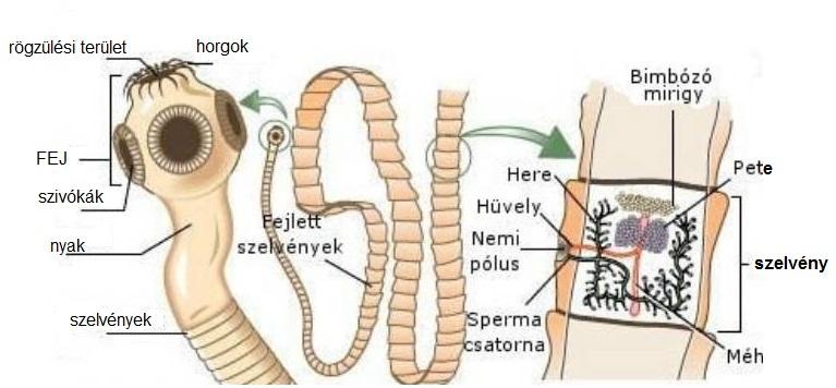 hpv szerotípusok fej- és nyaki rákban